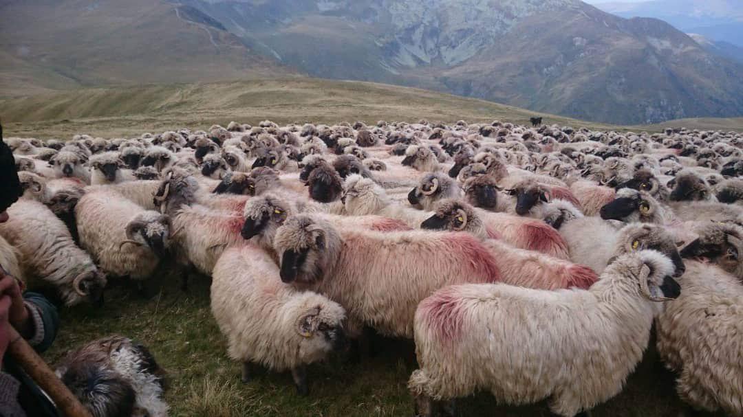 گوسفندان رومانیایی در راه ایران