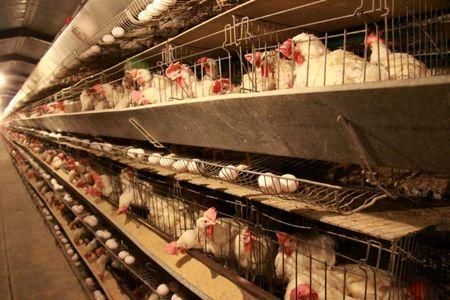 خودکفایی کشور در تولید گوشت سفید