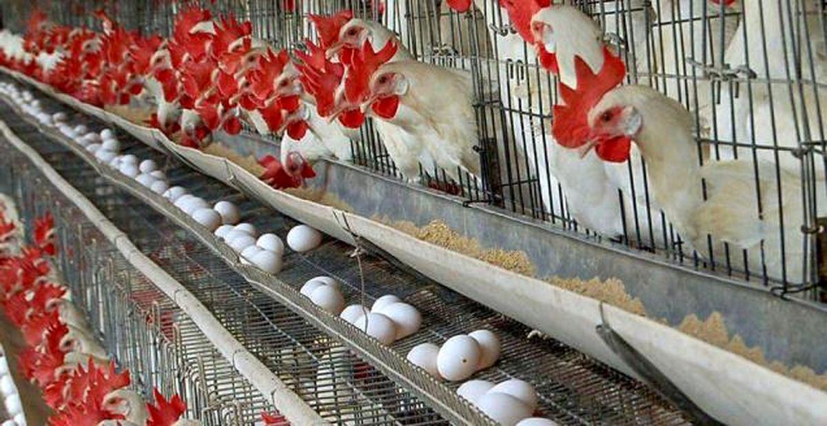 قیمت مصوب تخم مرغ کیلویی ۱۲هزارتومان میشود!