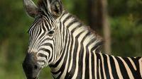 توضیح باغ وحش صفادشت درباره مرگ گورخر آفریقایی