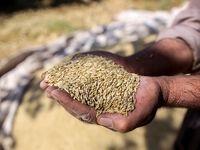 افزایش قیمت گندم، ذرت و دانه روغنی در بازار جهانی