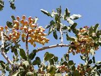احتمال تکرار بیباری درختان پسته در سال آینده/ سهم اندک قطب تولید پسته از باران