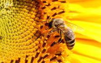 خوردن زنبور زنده توسط مرد هندى +فیلم