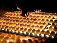 صادرات تخممرغ نطفهدار گوشتی و تخمگذار آزاد شد
