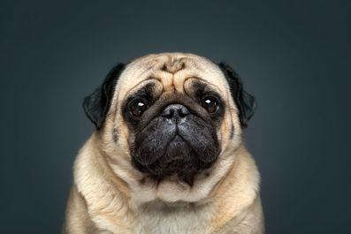 عکاسی پرتره از سگها