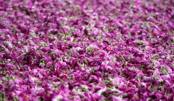 اشک و آه گل چینان و گلابگیران
