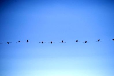 پرندگان مهاجر