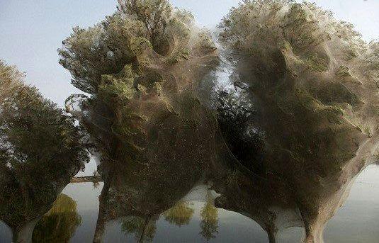 درختان عنکبوتی