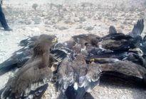 27پرنده شکاری و عقاب به دلیل مسمومیت تلف شدند