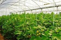 امسال ۲۷۰۰ هکتار گلخانه احداث میشود