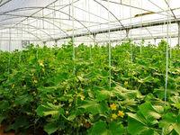 صرفهجویی ۳۰۰میلیون مترمکعب آب با ایجاد گلخانه در سال۹۷/ ۷۵۰هزارتن به تولیدات گلخانهای کشور افزوده شد