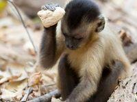 همه چیز درباره میمونهای کایوچین