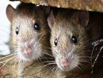 به دنبال موشهای دفتر شهردار فردیس! +فیلم