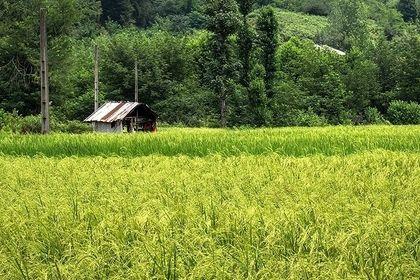 برداشت برنج از شالیزارهای گیلانغرب +تصاویر