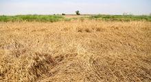 خسارات سیل به گندمزارهای خوزستان +تصاویر