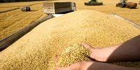 ۶.۸میلیون تن گندم خرید تضمینی شد