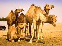 ماجرای شترهای سرگردان در البرز