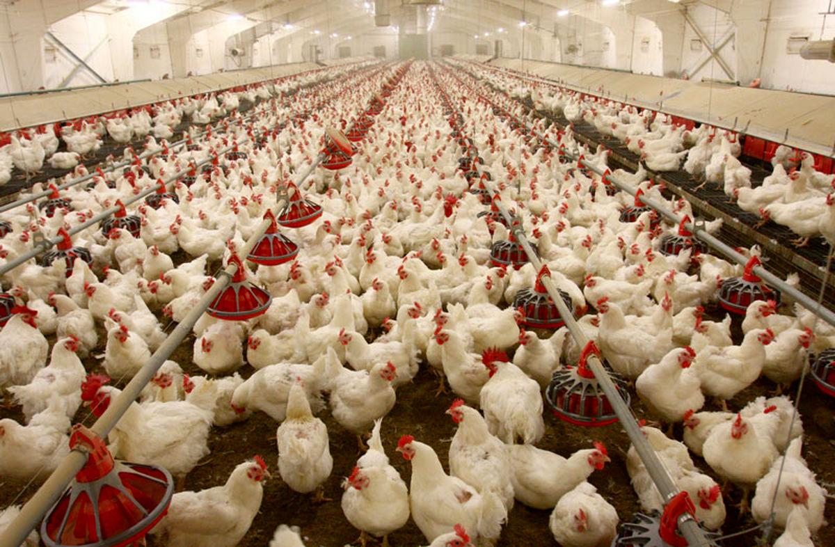 افزایش هزینه حمل و نقل هر کیلوگرم مرغ را 200تومان گرانتر کرد/ فقط 10استان واکسن آنفلوآنزا دریافت میکنند
