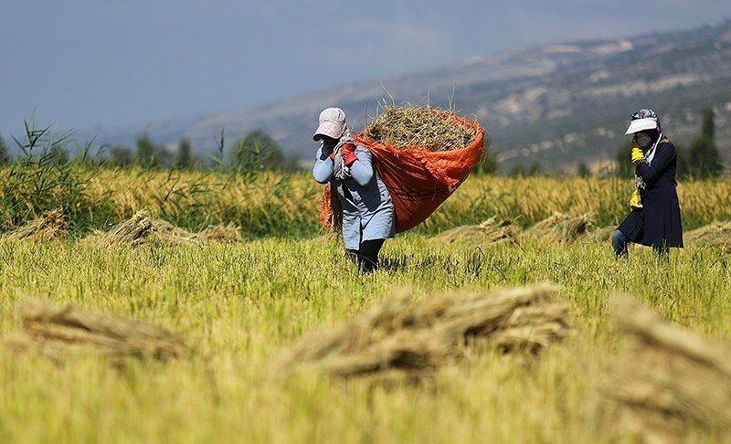 برداشت برنج درگلستان
