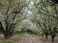 خواب آشفته باغ سیب کرج