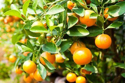 نارنج را با پوست بخورید و معجزه آن را دریابید