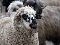 کشف ۱۴۳راس گوسفند قاچاق در شبستر