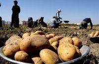 قیمت سیب زمینی در 15روز آینده کاهش مییابد