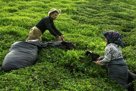 کرونا بر سلامت چای ایرانی تأثیر ندارد