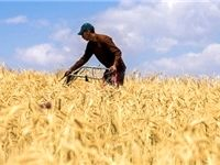 اعلام نرخهای خرید تضمینی محصولات کشاورزی پس از ۷ماه تاخیر