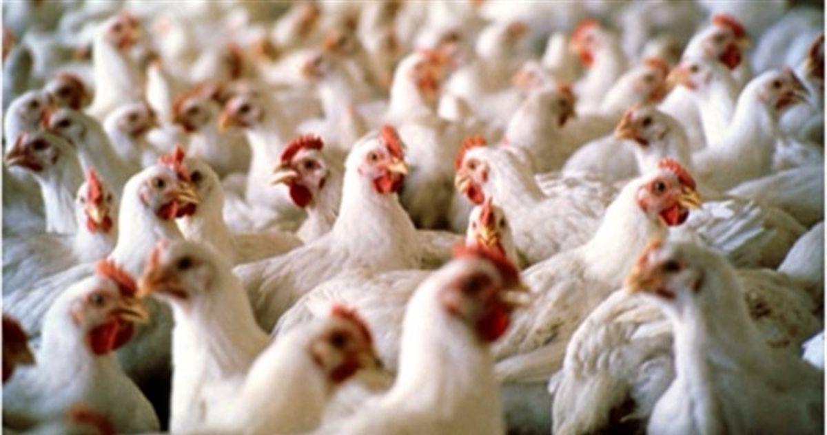 توقیف ۱۰ کامیون مرغ زنده!
