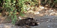 علت مرگ خرس قهوهای در گلستان اعلام شد
