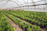 پیشبینی تولید ۲.۲میلیون تن سبزی و صیفی گلخانهای