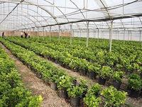صادرات گوجه فرنگی گلخانه ممنوع نیست