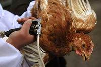 کدام افراد مستعد ابتلا به آنفلوآنزای مرغی H۷N۹ هستند؟