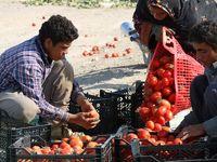 قیمت گوجهفرنگی نصف شد