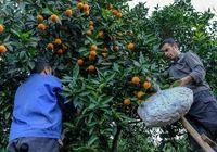 ۵۷ هزارتومان؛ متوسط دستمزد کارگر میوه چین
