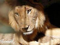 وضعیت اسفناک شیرهای نادر آفریقایی در سودان +عکس