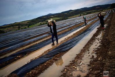 برداشت طلای سفید در اسپانیا