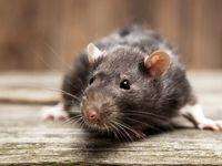افزایش شکایات مردمی از ازدیاد موشهای پایتخت