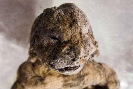 کشف شیر ۳۰۰۰۰ ساله در سیبری +عکس