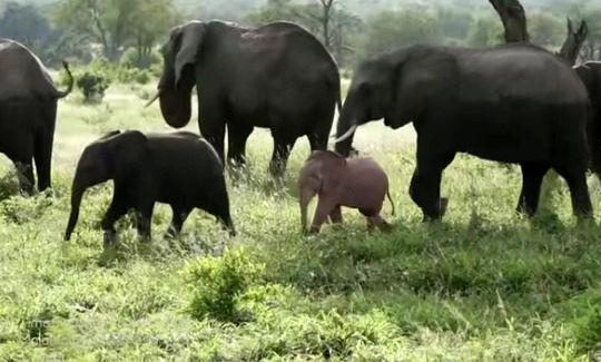 تولد اولین فیل صورتی آفریقایی +عکس
