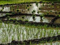 قیمت فروش برنج هندی اعلام شد +فیلم