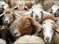 ارزانی گوشت با واردات هفتگی گوسفند زنده