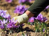 سهم ۶ درصدی ایران از گردش جهانی زعفران