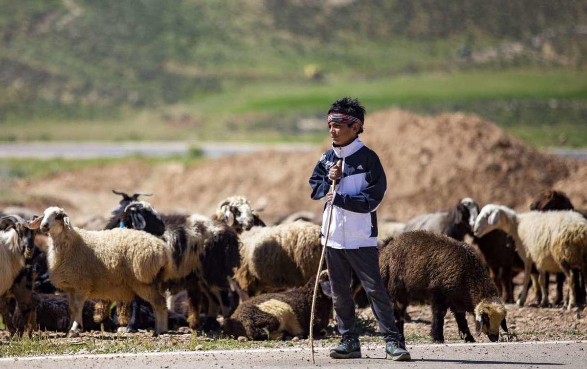 ابلاغ قیمت خرید حمایتی دام عشایر