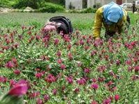 کشت ۷۰هزار هکتار گیاهان دارویی در عرصههای منابع طبیعی