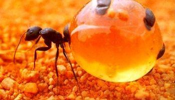 این مورچههای جادویی عسل درست میکنند!