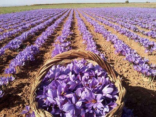 پیش بینی صادرات ۲۰۰ تن زعفران/ هر کیلو گرم زعفران ایرانی در بازار جهانی ۹۰۰ تا ۱۲۰۰ دلار