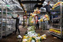 کرونا صنعت گل هلند را نابود کرد؛ امحای ۴۰۰میلیون شاخه