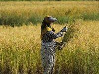 2.2 میلیون تن؛ میزان کشت برنج در کشور
